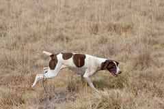 hund som följer tysk kortslutning för hårpekaredoft Arkivbild