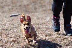 Hund som försöker att fånga en kastad pinne i midair, ägares ben som är synliga i bakgrund royaltyfri bild