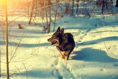 Hund som går i snöig skog royaltyfri foto