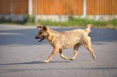 Hund som går ner gatan Royaltyfria Bilder