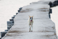 Hund som går på den konkreta bron Arkivbilder
