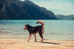 Hund som går på den tropiska stranden Royaltyfria Bilder