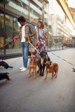 Hund som går på koppeln med den yrkesmässiga hundfotgängaren för par arkivfoton