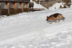 Hund som går snö Arkivfoton