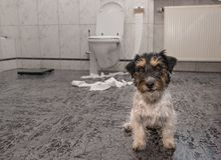 Hund som gör röra - kaos silar den russell terriern i badrummet arkivbilder