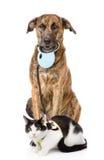 Hund som går en katt på en koppel På vitbakgrund Arkivfoton
