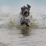 Hund som hämtar i vattnet royaltyfria foton
