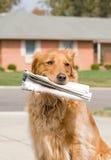 hund som hämtar nyheternapapper Arkivbild