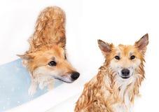 Hund som har ett bad Arkivbilder