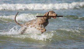Hund som har gyckel i vattnet Fotografering för Bildbyråer