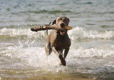 Hund som har gyckel i vattnet Arkivbilder