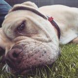 Hund som har gyckel som lägger på gräset Arkivfoto
