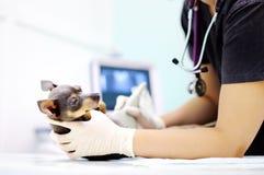 Hund som har ultraljudsundersökning i veterinärkontor Royaltyfri Fotografi
