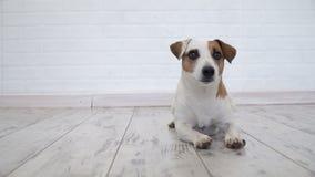 Hund som hemma ligger lager videofilmer