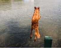 Hund som hoppar av skeppsdocka in i sjön Royaltyfri Fotografi