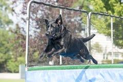 Hund som hoppar i midair över pöl royaltyfri fotografi