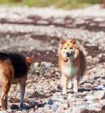 Hund som inviterar för att spela Arkivfoto