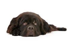 hund som isoleras ner lägga newfoundland white Royaltyfri Fotografi