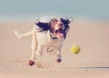 Hund som jagar bollen arkivbild