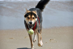 Hund som jagar bollen på stranden Arkivfoto