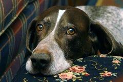 hund som jagar ii Royaltyfri Fotografi