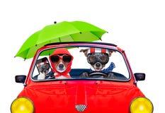 Hund som kör en bil royaltyfri bild