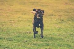 Hund som kör med en pinne i dess mun Gr?n bakgrund royaltyfria foton