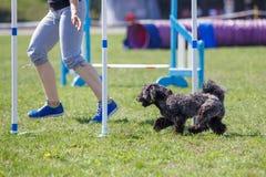 Hund som k?r dess kurs p? konkurrens f?r hundvighetsport royaltyfria foton