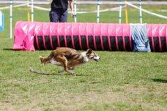 Hund som k?r dess kurs p? konkurrens f?r hundvighetsport fotografering för bildbyråer