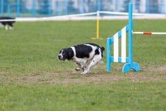 Hund som k?r dess kurs p? konkurrens f?r hundvighetsport arkivfoto
