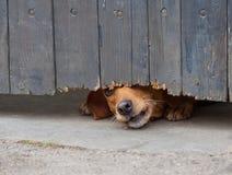 Hund som kikar till och med staketet royaltyfri fotografi