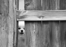 Hund som kikar till och med staketet royaltyfria foton