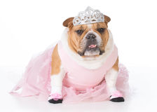 Hund som kläs som en ballerina royaltyfria bilder