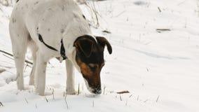 Hund som kopplar av i snö royaltyfria foton