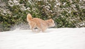 hund som kör liten snow Arkivbilder