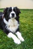 Hund som läggas på gräset med allvarlig blick Royaltyfria Bilder