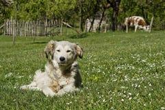 Hund som lägger i gräs i bygd royaltyfri fotografi