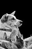 Hund som leker på gräset Abstrakt svartvit signal Fotografering för Bildbyråer