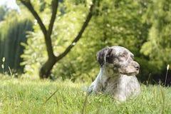 Hund som ligger i parkera Något tilldrog hans kuriositet Fotografering för Bildbyråer