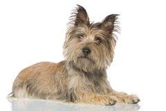 hund som ligger ner Fotografering för Bildbyråer