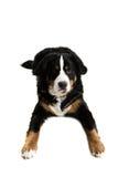 hund som ligger ner Royaltyfria Bilder