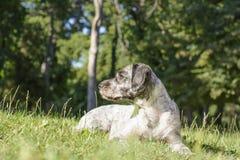 Hund som ligger på ängen Selektivt fokusera Royaltyfri Bild