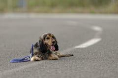 Hund som ligger på en väg Arkivfoton