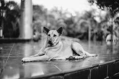 Hund som ligger på golvet med suddighetsbakgrund i svartvit bildstil Arkivfoto