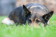 Hund som ligger på gräs Arkivbild