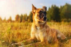 Hund som ligger på gräset på solnedgången fotografering för bildbyråer