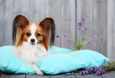 Hund som ligger på kuddar Arkivfoto