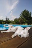 Hund som ligger på simbassängen arkivbild