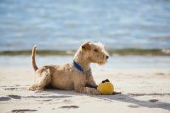 Hund som ligger på stranden med en gul boll Arkivfoto