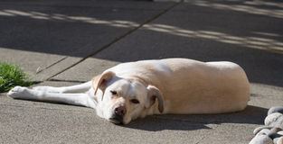 Hund som ligger på uteplats Arkivfoton